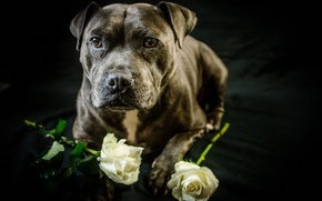 Picture each, roses, dog
