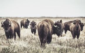 Wallpaper Buffalo, background, nature