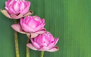Picture flowers, pink, Lotus, buds, pink, flowers, lotus