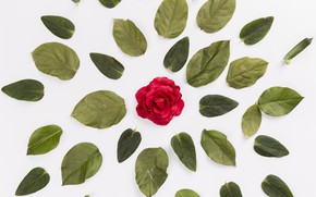 Picture flower, leaves, background, Rose