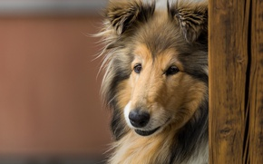 Picture look, face, dog, Rough collie