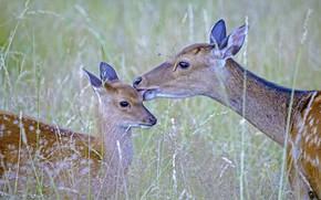 Picture grass, nature, family, deer-flower, Sika deer, Japanese deer