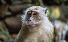 Picture monkey, animal, portrait, mammal, close up, malaysia, batu cave