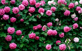 Picture roses, petals, pink