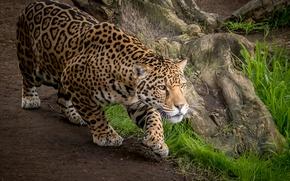 Picture predator, Jaguar, wild cat