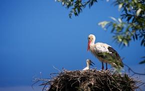 Picture the sky, birds, socket, stork, chick