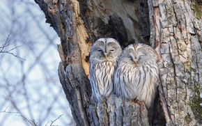 Picture birds, nature, tree, the Ural owl, owl long-tailed