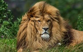 Picture grass, look, face, cats, background, dandelion, portrait, Leo, mane, wild cats, wildlife