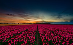 Wallpaper spring, tulips, the sky, beautiful