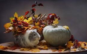 Picture autumn, animals, leaves, October, pumpkin, Guinea pig, composition