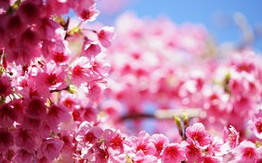 Picture flowers, pink, Tree, spring, flowering