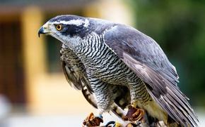 Picture Goshawk, Goshawk, view of birds of prey