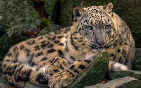 Picture IRBIS, snow leopard, handsome