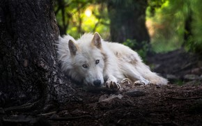 Wallpaper forest, white, look, face, nature, pose, background, tree, wolf, lies, trunk, handsome, Arctic, polar