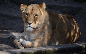 Picture Nature, Cat, Lioness, Stay, Animal