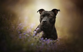Picture look, face, flowers, dog, bokeh, American Staffordshire Terrier