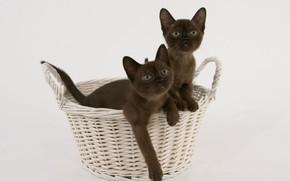 Picture basket, kittens, breed, Burmese