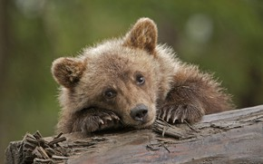 Picture sadness, cute, bear, grizzly