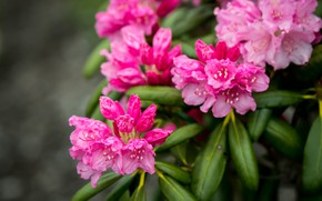Picture pink, rhododendron, Azalea