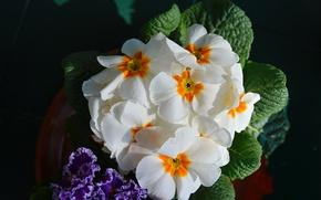 Picture Flowers, Spring, Flowers, Spring, Flowering, Flowering, Primula