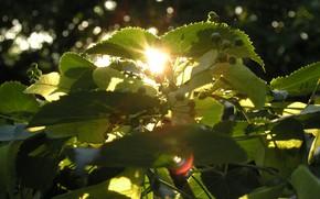 Picture summer, the sun, macro, sunset, tree, Linden
