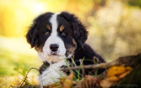 Picture muzzle, cute, puppy