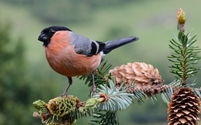 Picture branches, bird, needles, bullfinch