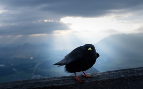 Wallpaper nature, Alpine Chough, bird