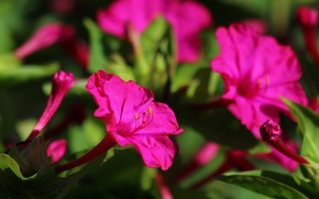Picture summer, flowers, nature, beauty, flowering, cottage, mirabilis
