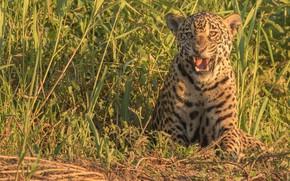 Wallpaper grass, predator, Jaguar, wild cat