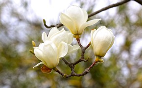 Picture branch, buds, Magnolia
