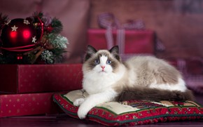 Picture cat, cat, animal, holiday, new year, Christmas, pillow, gifts, box, ragdoll, ragdoll