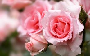 Picture macro, roses, petals, buds, bokeh
