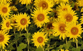 Picture sunflowers, flowers, yellow