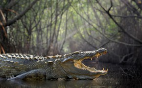Picture forest, crocodile, swamp