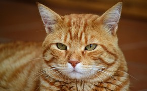 Picture cat, look, face, background, portrait, red, striped, green-eyed, important
