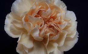 Picture flower, petals, carnation