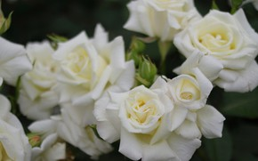 Picture macro, roses, petals, buds, white roses