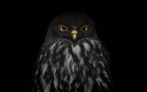 Picture look, owl, black background