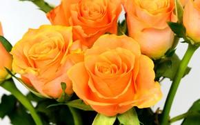 Picture flowers, roses, bouquet, orange