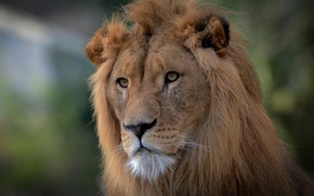 Picture look, face, portrait, Leo, mane, the king of beasts, wild cat
