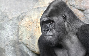 Picture nature, monkey, gorilla