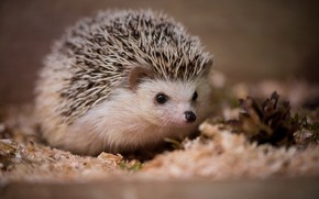Wallpaper hedgehog, autumn, nature