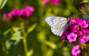 Picture macro, butterfly, flowers, insects, nature, green, background, butterfly, insect, white, pink, carnation, cabbage