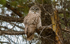Picture forest, owl, bird