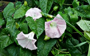 Picture greens, leaves, tenderness, buds, pink flowers, raindrops, yunki