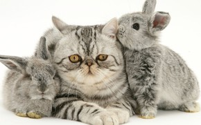 Picture kitty, rabbits, grey