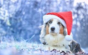 Picture look, dog, Santa, cap, bokeh, Australian shepherd, Aussie