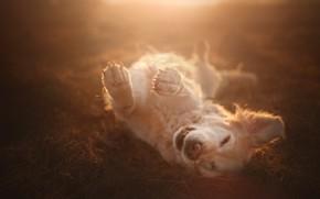 Picture joy, mood, dog, paws, bokeh, Golden Retriever, Golden Retriever