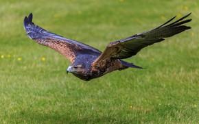 Picture wings, hawk, Buzzard, Blue Eagle